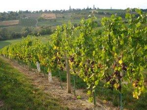Vinogradi Fruške gore
