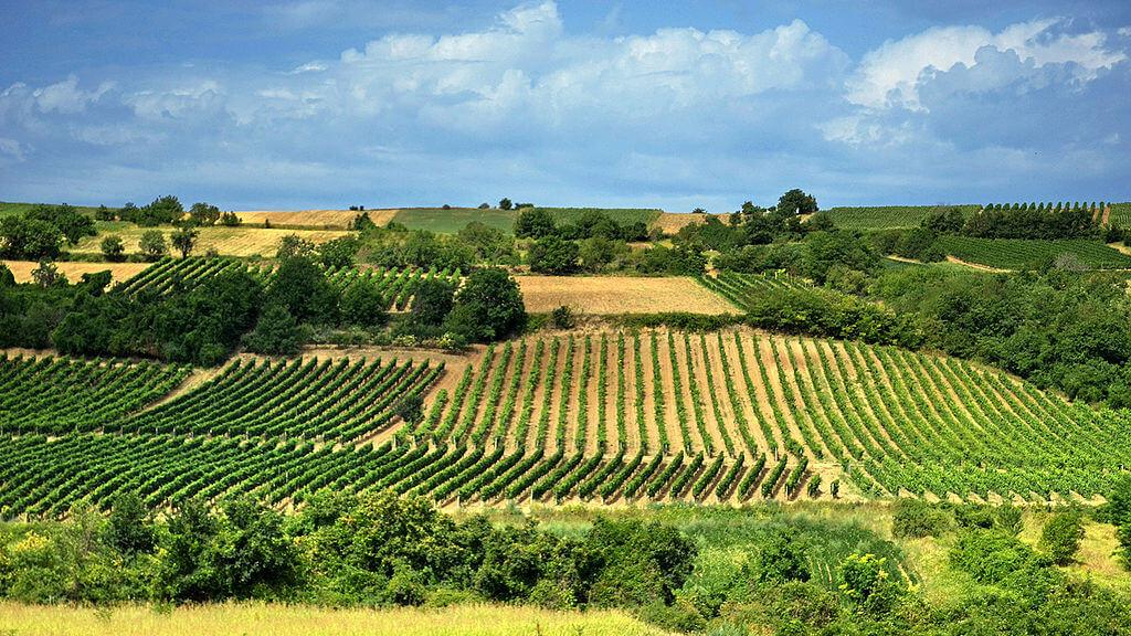 Fruška gora Vinogradi