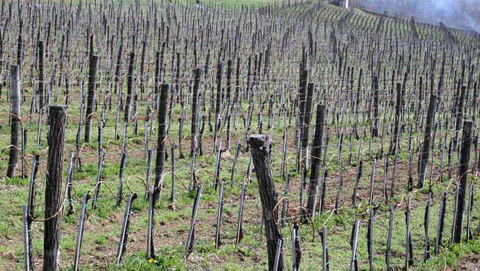 vinogradi na fruskoj gori